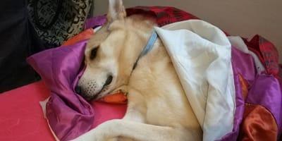 Un perrito durmiendo en su cama