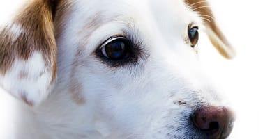 aborto en perros