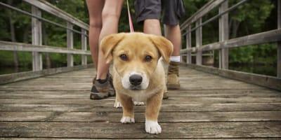 Qué es mejor, ¿pasear al perro antes o después de comer?