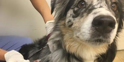 ¿Cuánto cuesta la vacuna antirrábica y por qué debo ponérsela a mi perro?