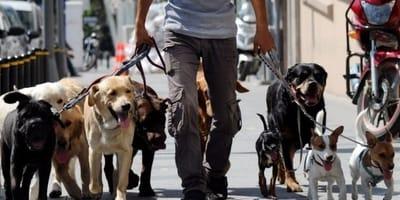 Qué elementos debes tomar en cuenta al contratar un paseador de perros