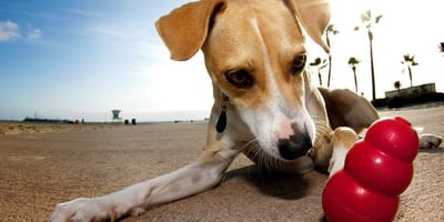 Un perro observa un juguete kong