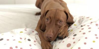 perro debajo de la cama