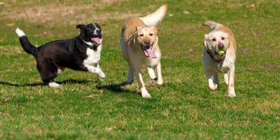 Perros jugando y brincando