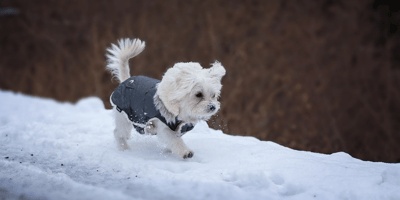 White dog wearing a coat in the snow