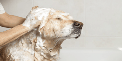 Golden Retriever dog getting shampooed