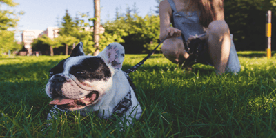 French bulldog with a retractable dog leash