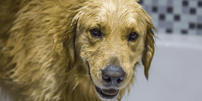 Golden retriever having a wash