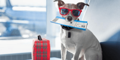 Jack russel wearing glasses and about to travel on a plane