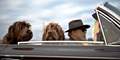 men in a car with his two goldendoodle