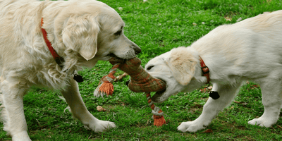 Two golden retriever playing together
