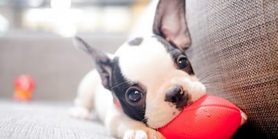 Pies w domu - jak się przygotować? Jakie potrzeby ma nowy lokator?