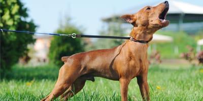 """Szczekanie psa - co oznacza i czy można go """"oduczyć"""" szczekania?"""