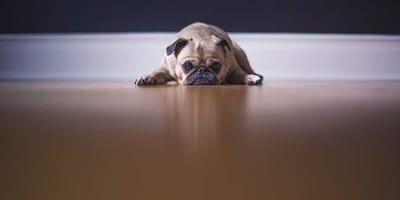 Cosa fare in caso di vermi nel cane?