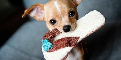 I cani più piccoli del mondo