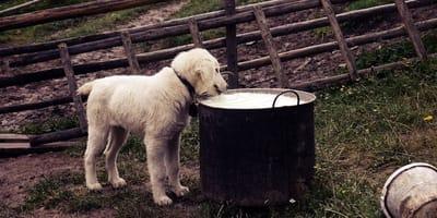 I cani possono bere il latte?