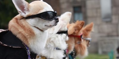 cani con occhiali da sole