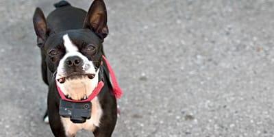 Ecco perché non scegliere un collare antifuga per cani