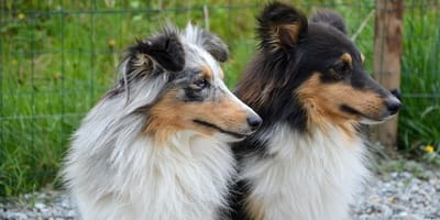 Cane maschio o femmina: quale scegliere?