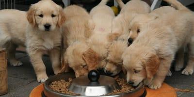 Cibo naturale per cani: come scegliere le migliori crocchette biologiche