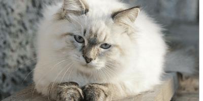 14 razze di gatti che dovresti assolutamente conoscere