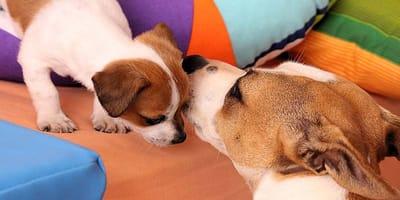 Quanto dura la gravidanza di un cane?