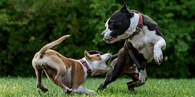 cane-aggressivo-con-altri-cani