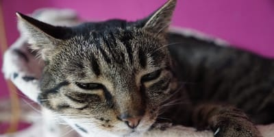 Gatto vomita schiuma bianca: cause e cosa fare