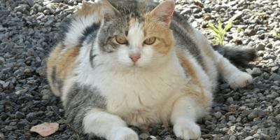 Quanto deve pesare un gatto? L'importanza del peso del Micio
