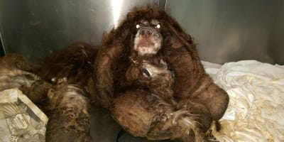 Neglected dog shocks rescuers with extreme matted fur