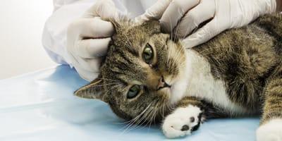 Ohrmilben bei der Katze: Aussehen, Übertragung, Symptome, Behandlung