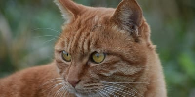5 cats that look like tigers (and other big cats)