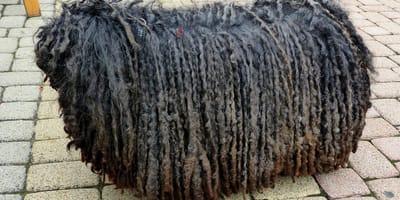 12 razas de perros con pelajes únicos