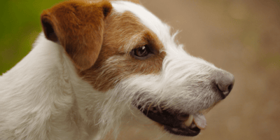 White and brown jack russell