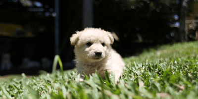 5 Small fluffy dogs that are absolutely adorable