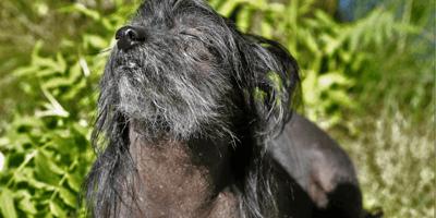 2 hairless dog breeds