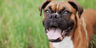 Brown dog looking happy