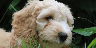 Golden cockapoo dog