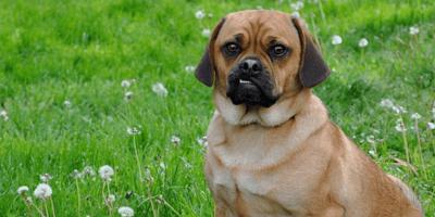 Brown puggle dog