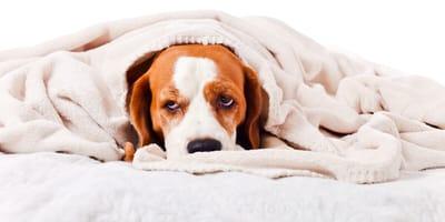 Chory pies kaszel kenelowy u psa