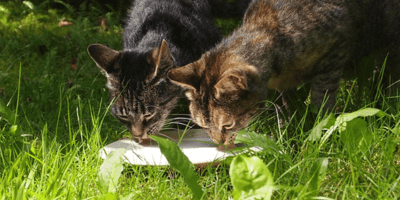Can cats drink milk?