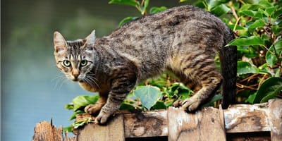 Cat in heat: here is everything you need to know