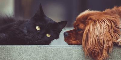 5 razze di cani che vanno d'accordo con i gatti