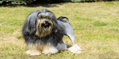 Grey Lowchen dog