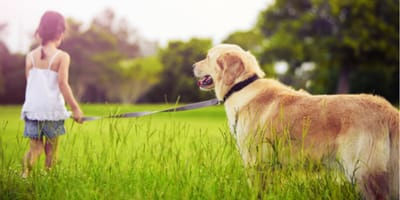 Golden retriever dog walking with young child