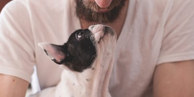 puppy French bulldog with owner