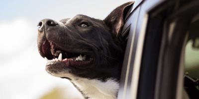 Black dog in a car looking happy