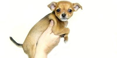 chihuahua-gracioso-fotos