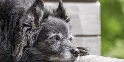 Old grey dog