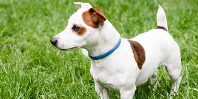 hund mit blauem zeckenhalsband